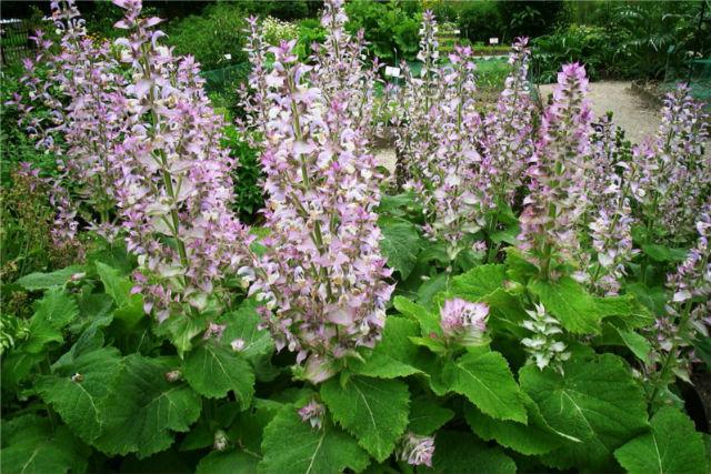 クラリーセージの花